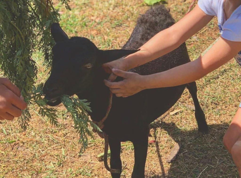 Jugando con oveja
